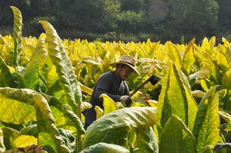 Despite the heat and humidity Thursday morning, Leones Torres wears long sleeves, a hat and gloves for protection while chopping tobacco.