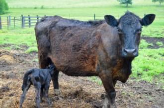 One of the three calves born on Wednesday nurses.