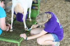 Kendra Peek/kendra.peek@amnews.com Anna, 11, and Rose Stoltman, 19, clean the hooves of Opal the goat. The sisters are from Stanford.
