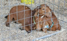 Kendra Peek/kendra.peek@amnews.com RJ and Trip, three month old Boer Goats belonging to Maggie Whilhoite of Owen County, wait in their pens at the Boyle County Fair goat show.