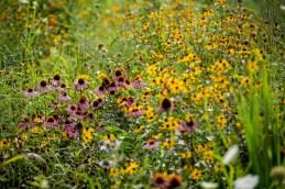 Ben Kleppinger/ben.kleppinger@amnews.com Flowers grow waist high in a field at the Perryville Battlefield Historic Site.