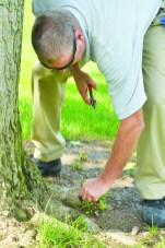 Robin Hart/robin.hart@amnews.com Curtsinger bends down to weed around the base of a tree on the grounds of Centre College, where he has worked as a groundskeeper for almost 16 years.