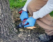 To inject the ash tree at Constitution Park, several holds are drilled around the base of the tree. (Photo by Robin Hart)