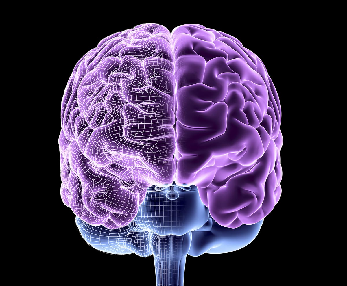 The Brain Structure Function And Evolution