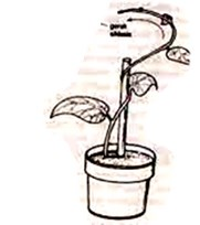 Gerak melililitnya batang tanaman pada sulur