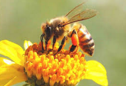 Fakta Unik Lebah Madu yang Perlu Anda Ketahui 10 Fakta Unik Lebah Madu yang Perlu Anda Ketahui