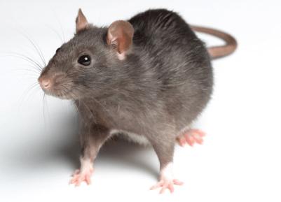Fakta Menarik dan Unik tentang Tikus yang Perlu Anda Ketahui
