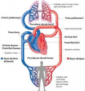 Contoh Latihan Soal IPA Biologi Sistem Peredaran Darah Manusia