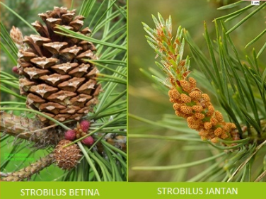 Tumbuhan Berbiji Terbuka Ciri-ciri Klasifikasi dan Contohnya