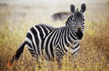 Fakta Unik dan Menarik Seputar Zebra yang Perlu Anda Ketahui