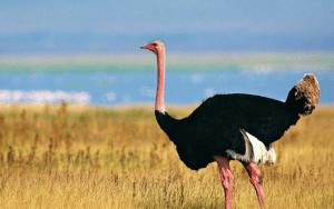 10 Fakta Unik dan Menarik Seputar Burung Unta yang Wajib Anda Ketahui