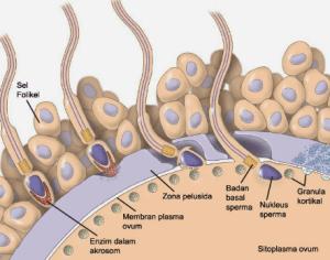 Pengertian, Proses Fertilisasi, dan Perkembangan Embrio pada Manusia