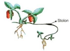 8 Jenis Perkembangbiakan Vegetatif Alami pada Tumbuhan Dilengkapi Contohnya