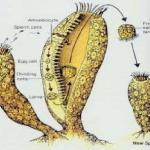 3 Jenis Perkembangbiakan Vegetatif pada Hewan Dilengkapi Contohnya
