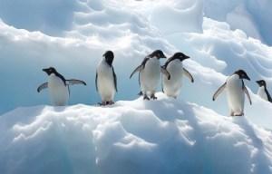Fakta Unik dan Menarik Seputar Penguin Untuk Anda Ketahui