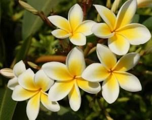 Fakta Unik dan Manfaat Bunga Kamboja Untuk Kesehatan Manusia