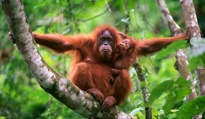 Fakta Unik dan Menarik Seputar Orangutan yang Perlu Anda Ketahui