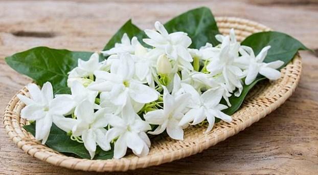 10 Fakta Unik dan Menarik Seputar Bunga Melati Untuk Anda Ketahui