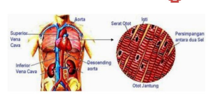Otot Jantung : Pengertian, Fungsi, Ciri-Ciri, dan Cara Kerjanya