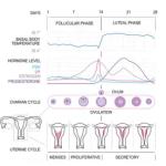 Jelaskan pengertian menstruasi dan sebutkan fase-fasenya!
