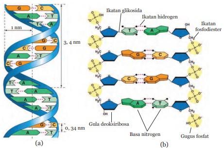 Materi Ipa Kelas 9 Smp Kurikulum 2013 Pewarisan Sifat Materi Genetik