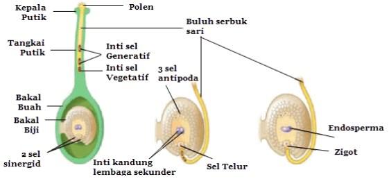 Proses Pembuahan Fertilisasi Tumbuhan Angiospermae Dan Gambarnya
