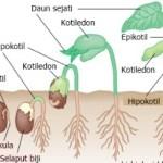 Proses Perkecambahan Biji dan Tipenya Pada Tumbuhan Angiospermae