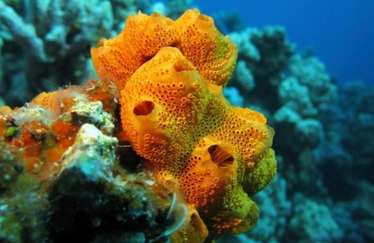 Fakta Unik Tentang Porifera (Spons), Hewan Air yang Berongga
