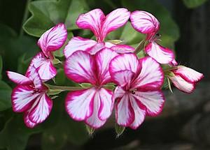 geranium-lierre-zoom