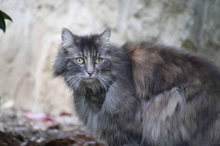 Gatto a pelo grigio: razze, carattere e curiosità - amoreaquattrozampe.it