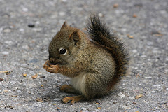 Baby Squirrel