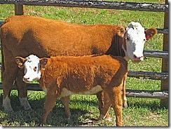 cow-calf-milk