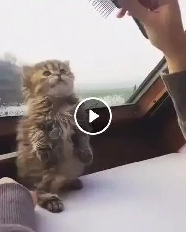 O Gato não quer pentear o cabelo