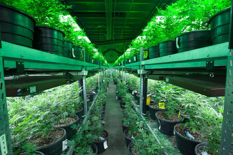cannabis cultivation Netherlands