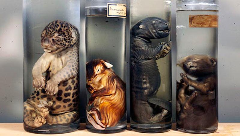 Unusual museums in Amsterdam Museum Vrolik