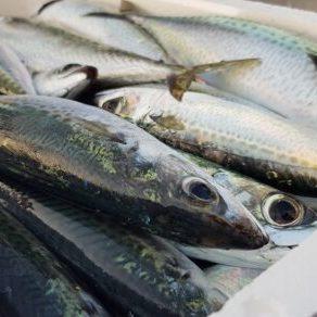 Tuna fish in Terracina