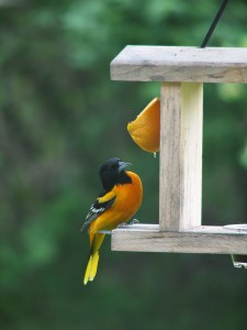 Best time of the day. Male oriole.