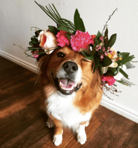 A dog that looks somewhat like a tan-and-white border collie sits on a wooden floor against a white wall, smiling up at the camera with a glorious floral headdress. The floral wreath is made of dark green leaves, large hot pink peonies, paler pink roses, and some other flowers in pinks and whites. The dog is winking due to the flowers.