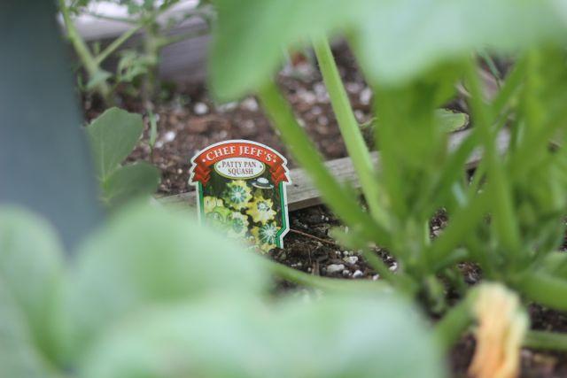Patty pan squash plant
