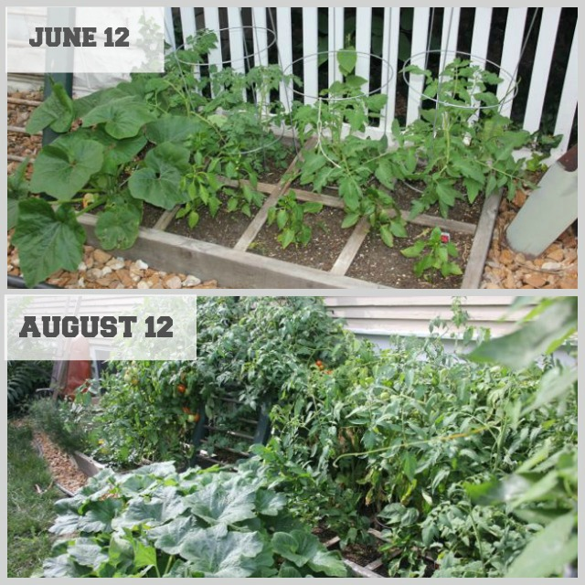 Two months change in a square foot garden