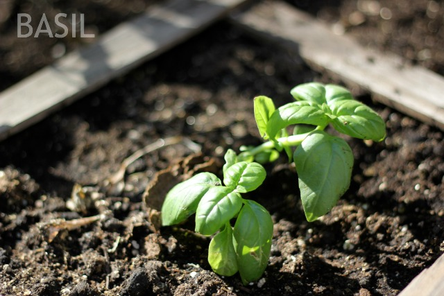 SQUARE-FOOT-GARDEN-BASIL