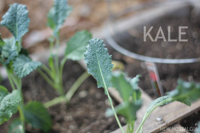 SQUARE-FOOT-GARDEN-KALE