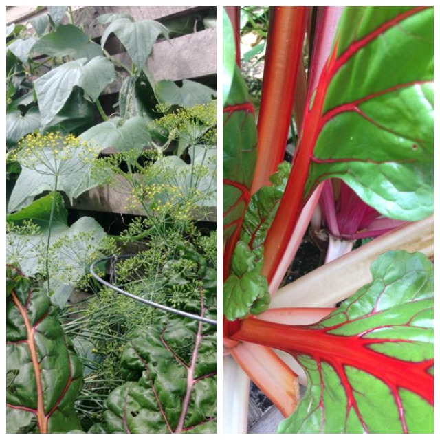 Square-Foot-Garden-Chard-2014