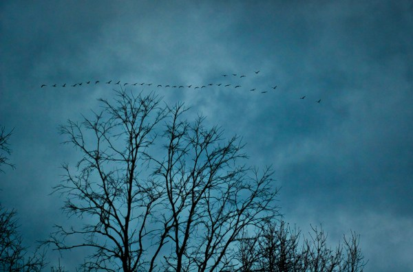 Artistic image of Canadian geese migrating south over the tops of bare trees.