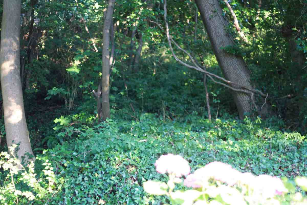mature garden with established trees covered in ivy