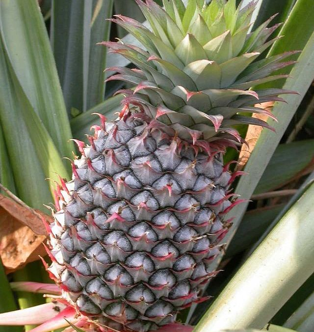 Loosing your pants is really a pineapple – and other strange things to say in Portuguese