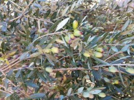 Aceitunas de los olivos