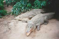 Sacred crocodiles in the Gambia