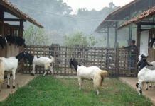 Cara Ternak Kambing Etawa, Jawa dan Gibas serta Pembuatan Pakan Fermentasi Sederhana