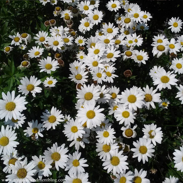 Colorful close up picture of daisies growing outside, from the park where I ate my falafel.